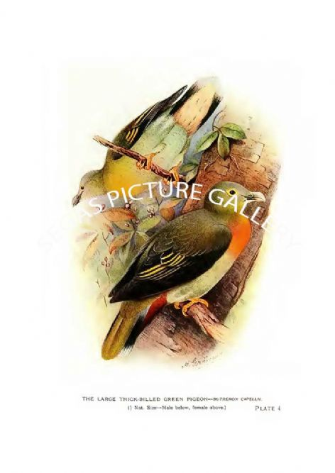 Fine art Print of the Pigeon, the Large Thick-Billed Green